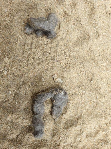 Loup gris  - Germain Poignant