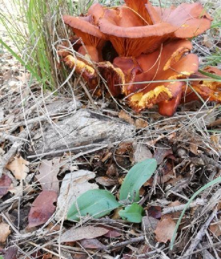 Ophrys querciphila  - Alain Bultez