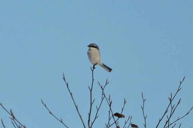 Great Grey Shrike  - Francesca Marsilli