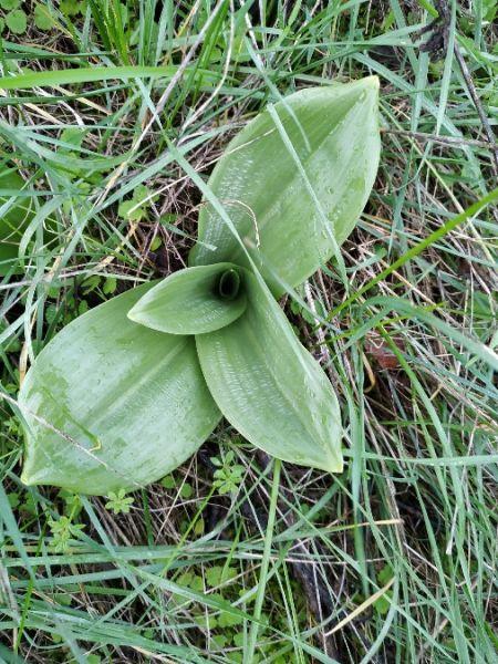 Himantoglossum hircinum  - Eliane Maniere
