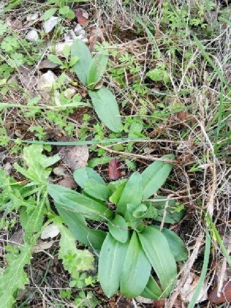 Ophrys sp.  - Alain Bultez