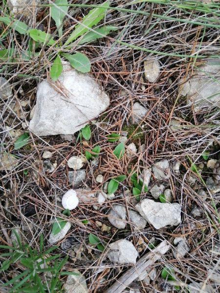 Ophrys bilunulata  - Alain Falvard (sfo Auvergne)