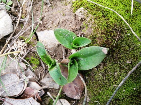 Ophrys speculum  - Alain Falvard (sfo Auvergne)