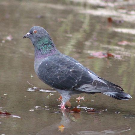 Feral Pigeon  - Murielle Desrois