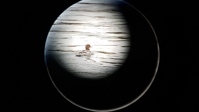Common Merganser  - Michelangelo Morganti