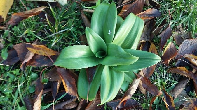 Himantoglossum hircinum  - Gérard Joseph