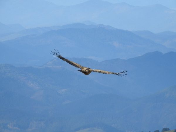 Griffon Vulture  - Gorka Valdes