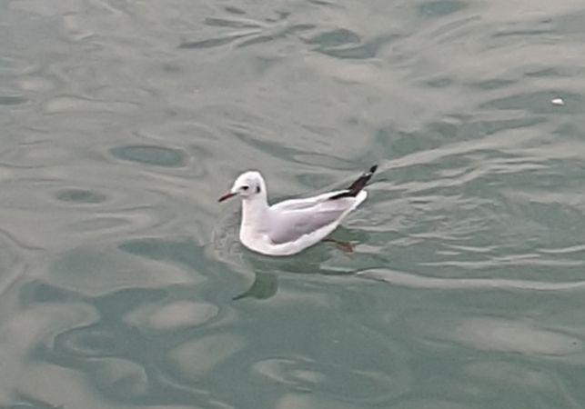 Black-headed Gull  - Roberto Bortali