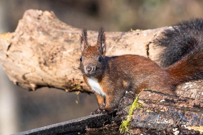 Eurasian Red Squirrel  - Andrea Incerti