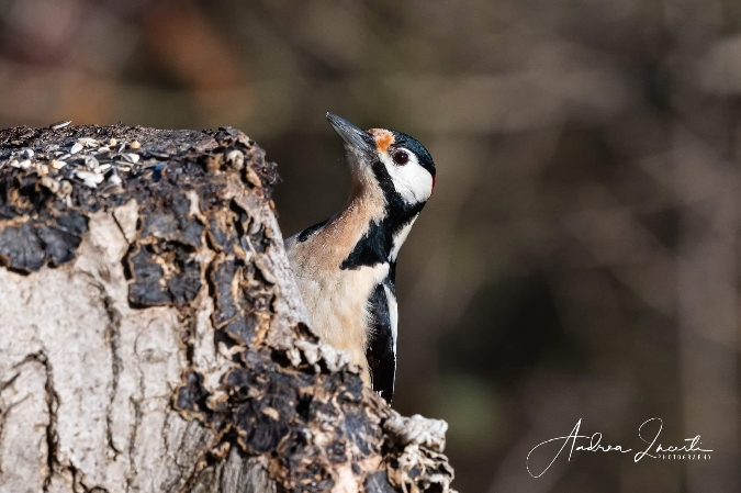 Great Spotted Woodpecker  - Andrea Incerti