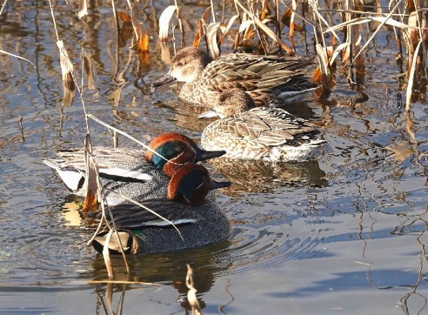 Common Teal  - Pierre Loria