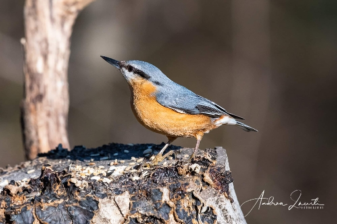 Eurasian Nuthatch  - Andrea Incerti