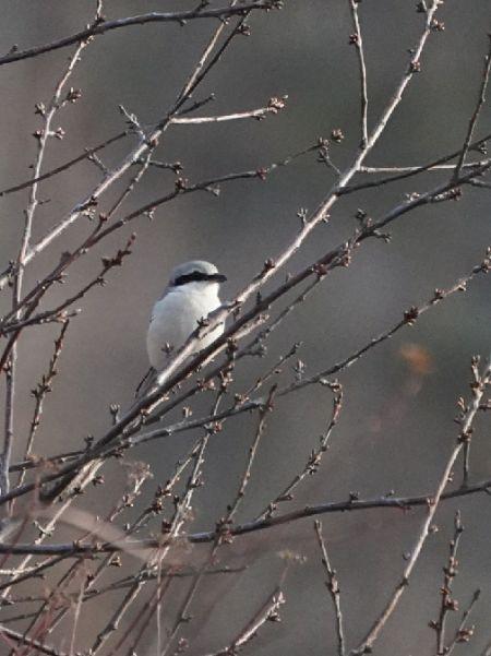 Great Grey Shrike  - Regula Ticar