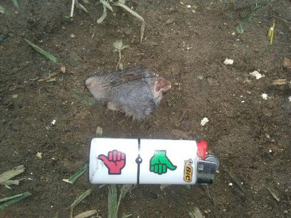 Rat surmulot / noir  - Typhaine Lyon