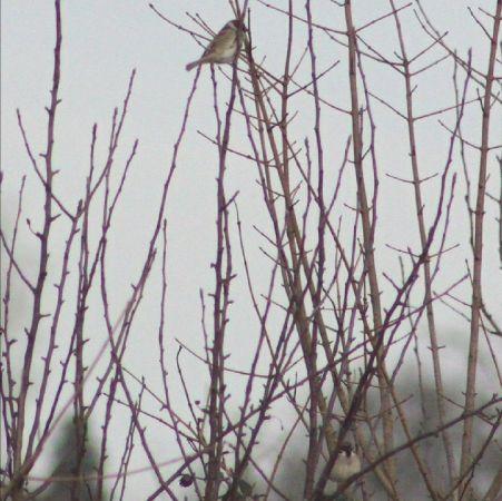 Eurasian Tree Sparrow  - Murielle Desrois