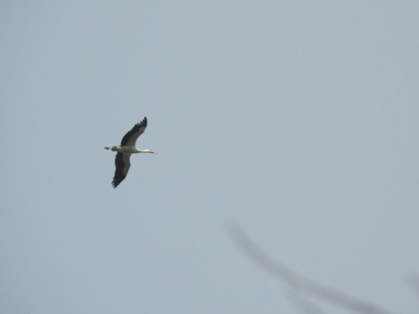 White Stork  - Alain Loperena