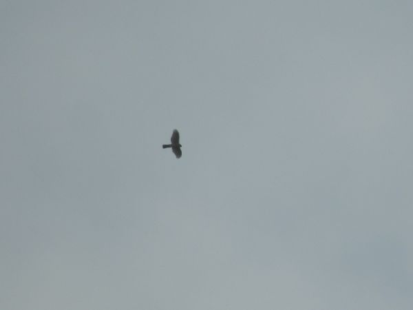 Eurasian Sparrowhawk  - Alain Loperena