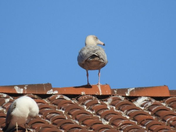 Glaucous Gull  - Gorka Valdes