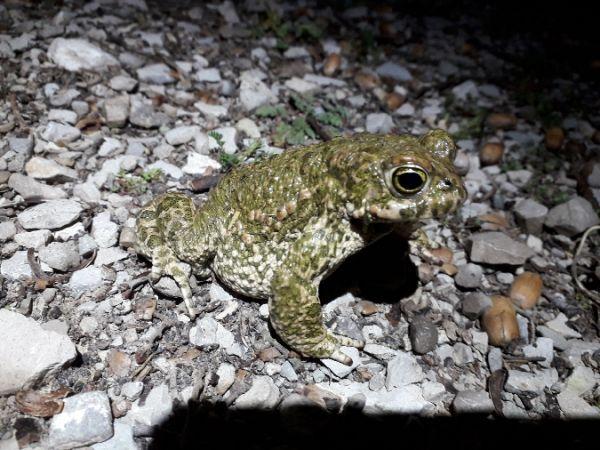 Natterjack Toad  - Daniel Espejo Fraga