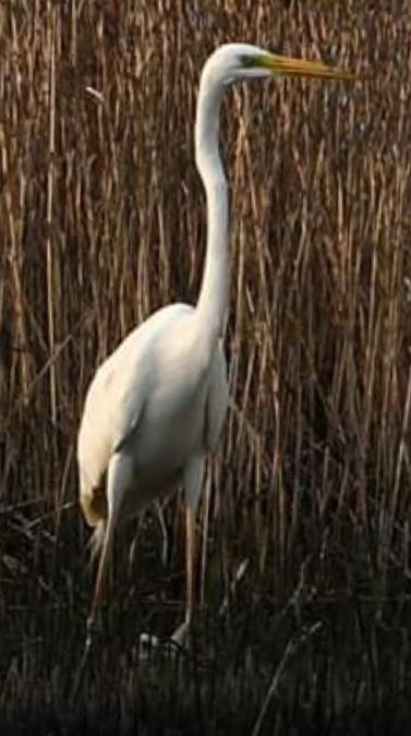 Great Egret  - Nicola Norante