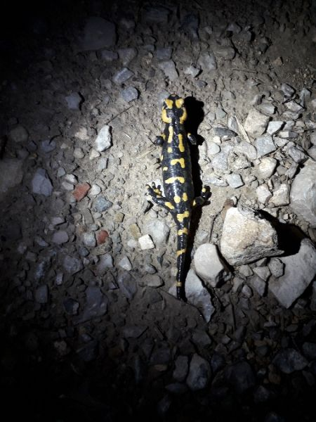 Salamandra común  - Daniel Espejo Fraga