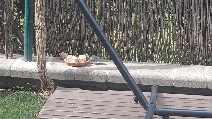 Sardinian Warbler  - Lluís Garriga