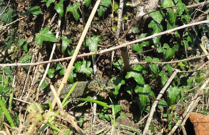 Lézard à deux raies (L. vert occidental)  - Isabelle Naudon