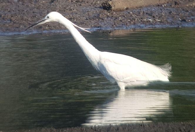 Little Egret  - Łukasz Janocha