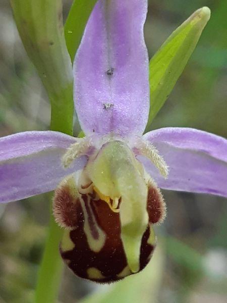 Ophrys apifera var. aurita  - Françoise Peyrissat