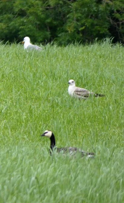 Barnacle Goose  - Julen Vega