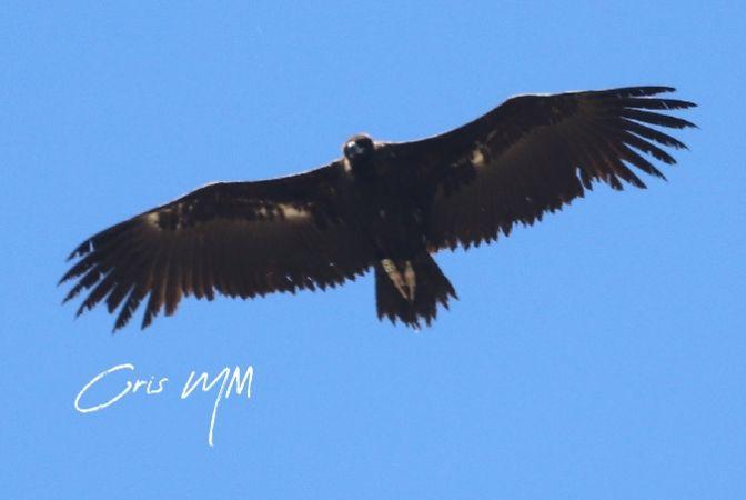 Eurasian Black Vulture  - Cristina Morales