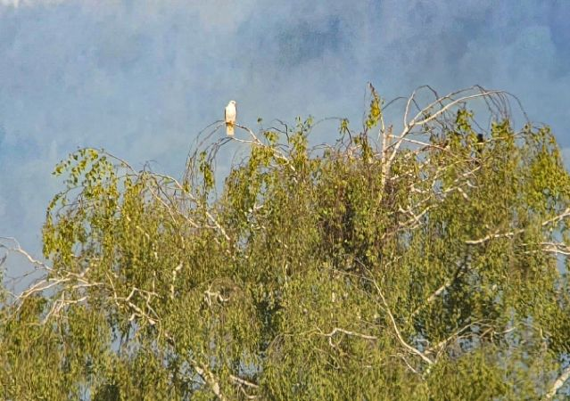 Black-winged Kite  - Thomas Wahli