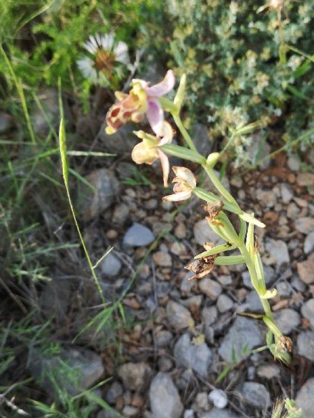 Ophrys corbariensis  - Georges Olioso
