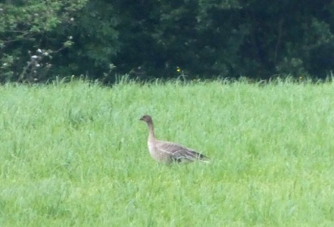 Pink-footed Goose  - Julen Vega
