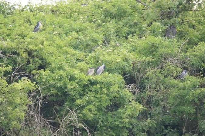 Black-crowned Night Heron  - Mariusz Lizoń