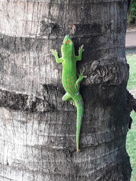 Gecko vert à points rouges  - Marc Salamolard