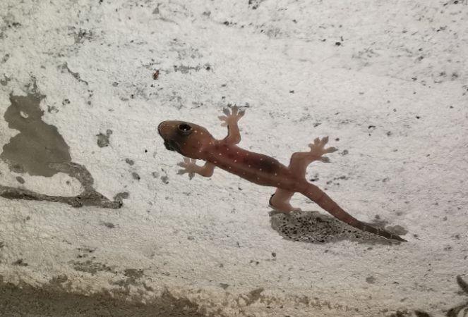 Gecko mutilé  - Martin Riethmuller