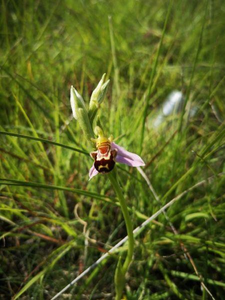 Ophrys apifera  - Richard Fay