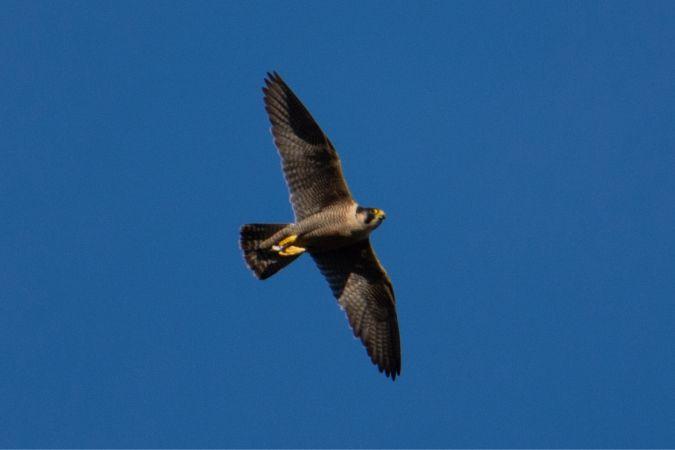 Falcó pelegrí (F.p.peregrinus)  - Oriol Lloret