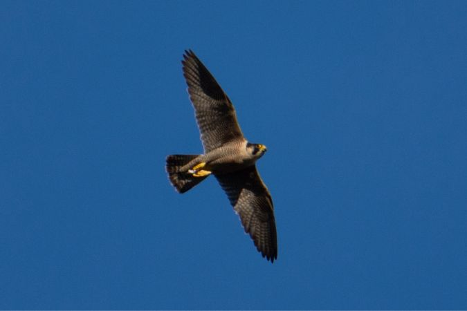 Peregrine Falcon (F.p.peregrinus)  - Oriol Lloret