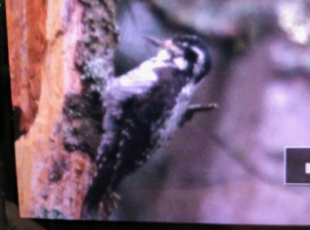 Eurasian Three-toed Woodpecker  - Anna Kaniewska-Skoczylas