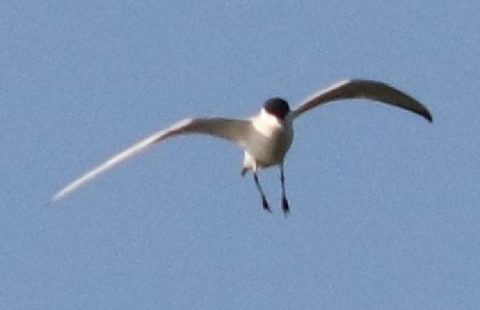 Common Gull-billed Tern  - Simon Niederberger