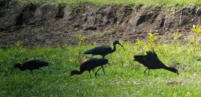 Ibis falcinelle  - Giuseppe di Lieto