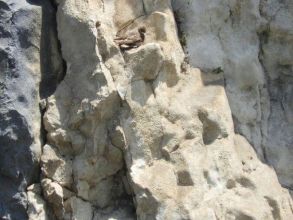 Hirondelle de rochers  - Antoine Blanckaert