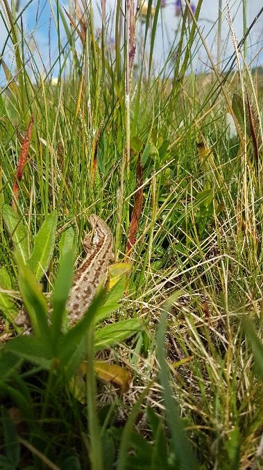 Viviparous Lizard  - Patrick Marti