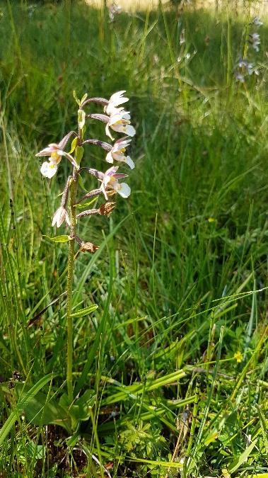 Epipactis palustris  - Claire Perrachon