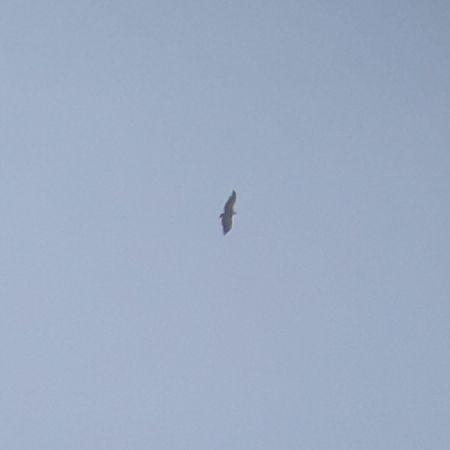 Griffon Vulture  - Manuel Piana