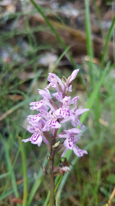 Dactylorhiza fuchsii  - Claire Perrachon