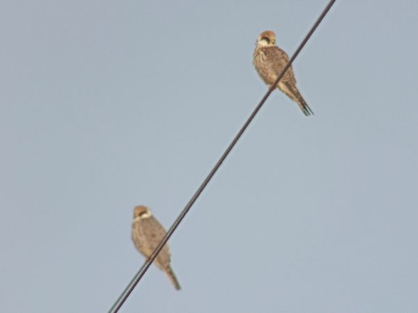 Red-footed Falcon  - Michał Baran