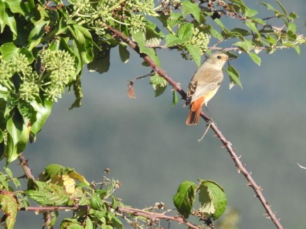 Common Redstart  - Andreu Duclau